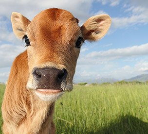 veg-pledge-cow